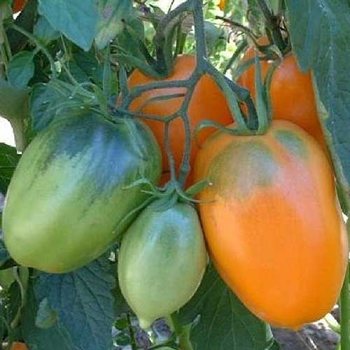 A close up of bright orange and green tomatoes growing on the vine in the garden, in light filtered sunshine.