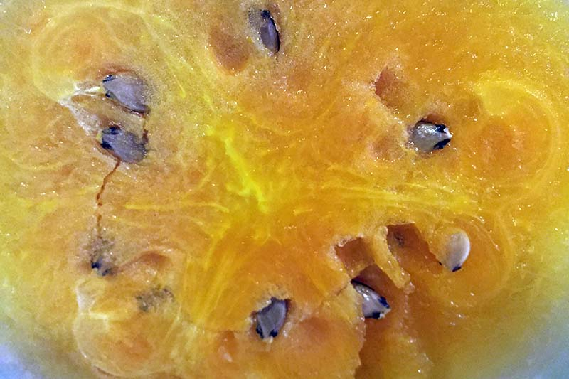 A close up of the bright orange flesh of Citrullus lanatus 'Orangeglo.'