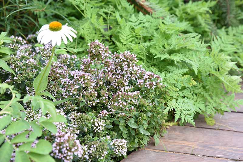 A close up of a garden border with flowering oregano next to a wooden walkway, pictured on a soft focus background.