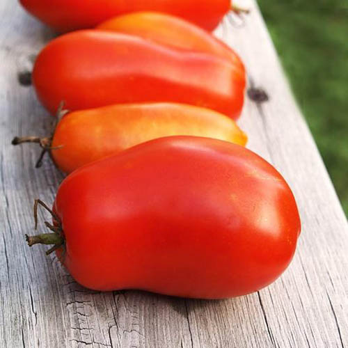 A close up of freshly harvested, ripe red tomatoes set in a line on a wooden table in the garden.