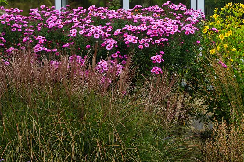A flower border with bright pink asters and ornamental grasses in front of windows.