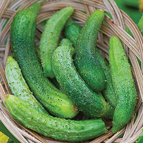 A close up of a wicker basket containing a pile of freshly harvested Cucumis sativus 'Parisian.'