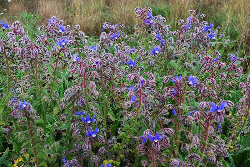A patch of borage with bright blue flowers and reddish-brown stems growing in the summer garden.