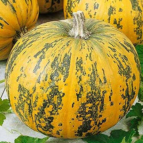 A close up of Cucurbita pepo 'Pepitas' with green and yellow rind, set on a white surface with scattered foliage.
