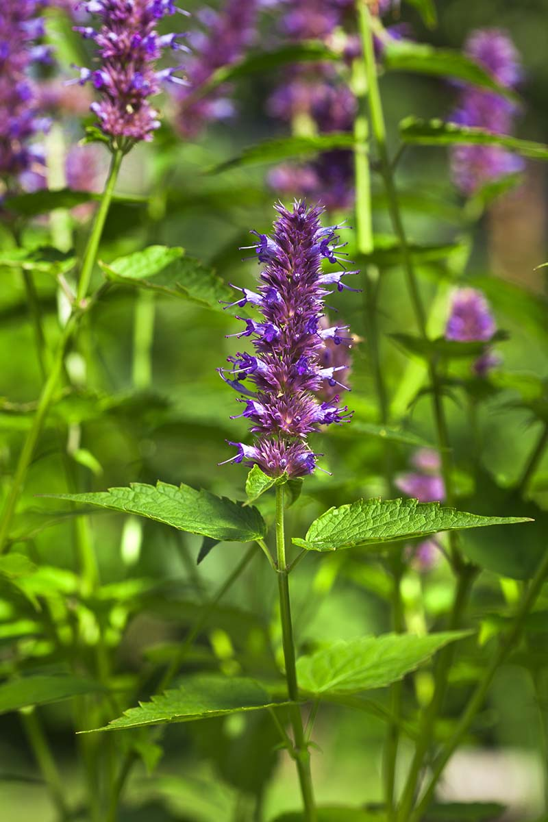 A vertical picture of a peppermint plant with a purple flower growing in the summer garden.