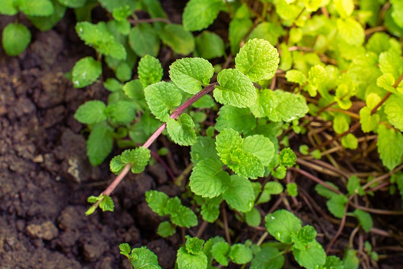 A close up of a peppermint plant with reddish stems and bright green leaves, growing in the garden in light sunshine.
