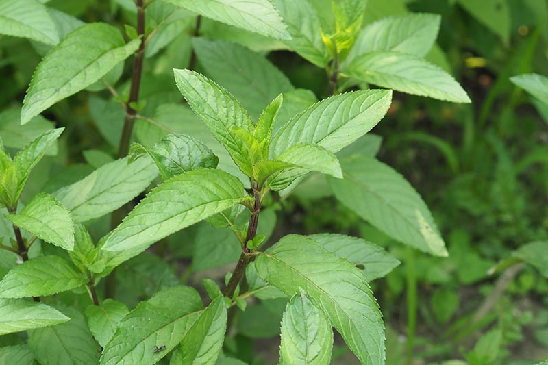 A close up of Mentha x piperita growing in the garden with green leaves and reddish-brown stems, pictured on a soft focus background.