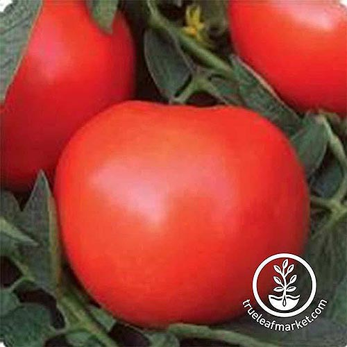 A close up of a large red, ripe 'Phoenix Hybrid' tomato, on a soft focus background. To the bottom right of the frame is a white circular logo with text.