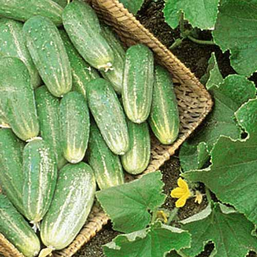 A close up of a basket of freshly harvested Cucumis sativus 'Picklebush' set on the ground in the garden.