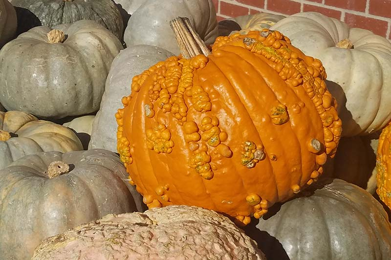 A pile of freshly harvested winter squash with a brick wall in the background.