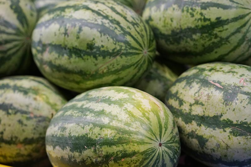 A close up of a pile of freshly harvested, ripe melons with pale and dark green mottled skin.