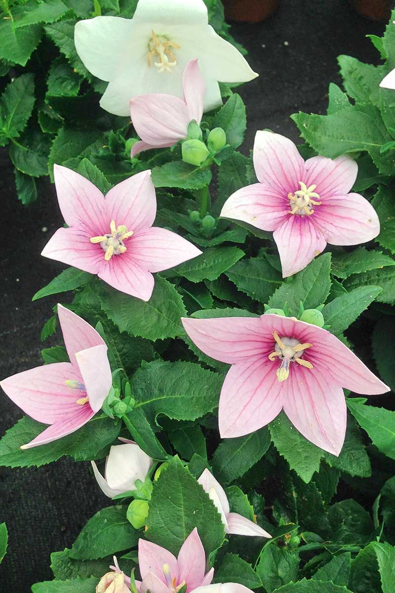 A vertical picture of pink balloon flowers growing in the garden, with foliage in soft focus in the background.