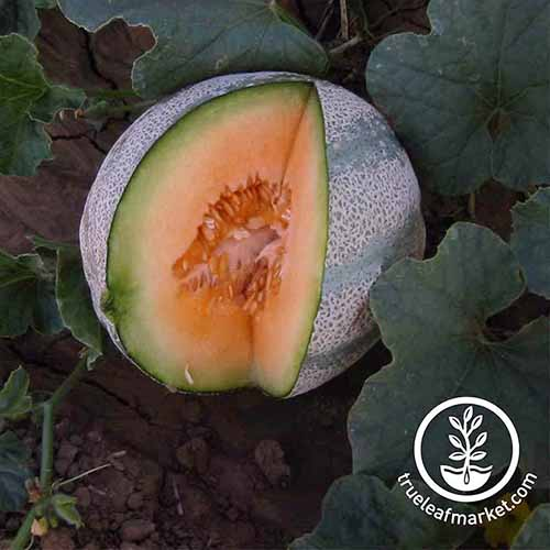 Square image of a 'Planters Jumbo' melon in the garden, surrounded by large green leaves, with a slice of the fruit removed to show the bright orange flesh inside.