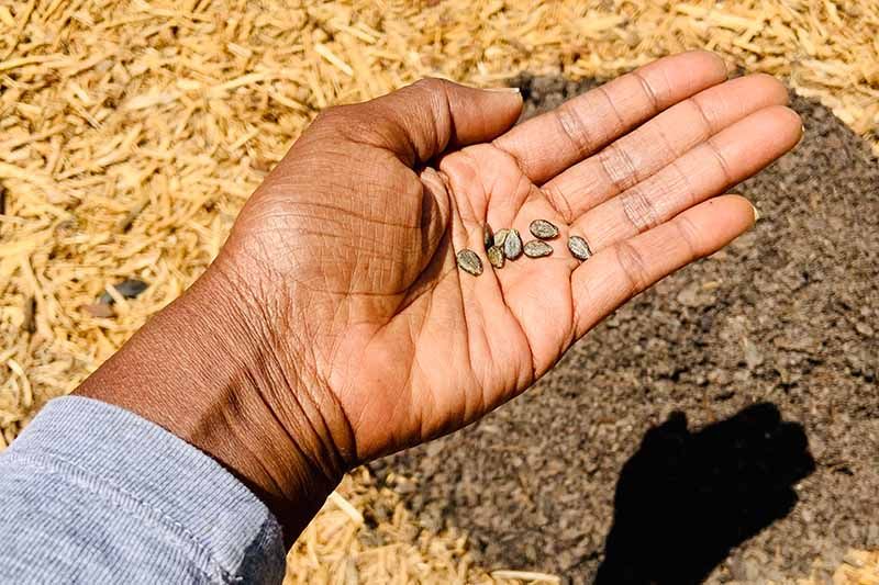 A close up of a hand from the left of the frame with an open palm holding seven small seeds, ready for planting into the freshly prepared soil in the background, pictured in bright sunshine.