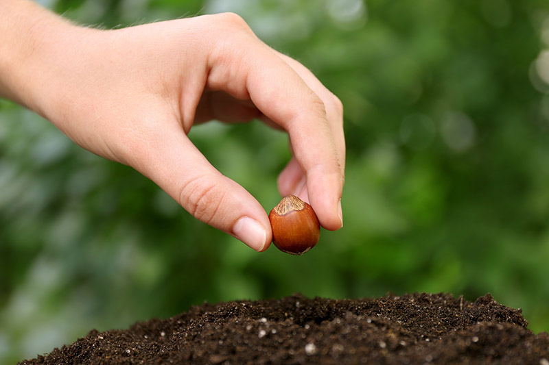 A close up horizontal image of a hand from the left of the frame planting a hazelnut seed into dark, rich soil, pictured on a soft focus green background.