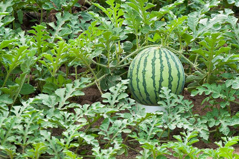 A horizontal image of a large melon vine growing in the garden, with a large, dark and light green striped fruit surrounded by foliage.