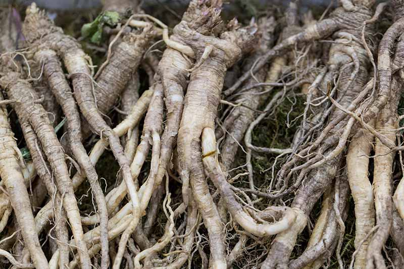 A close up of the root system of Platycodon grandiflorus, or balloon flower.