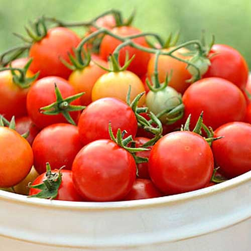 A close up of a white ceramic bowl of 'Power Pops' tomatoes, freshly harvested and pictured on a soft focus background.