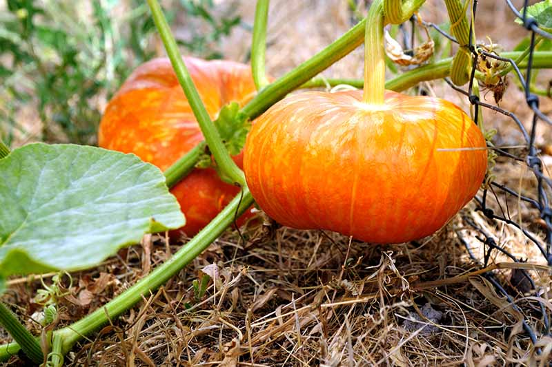 A close up of two winter gourds growing on the vine, with bright orange skin, straw mulch on the ground, and a metal fence to the right of the frame.