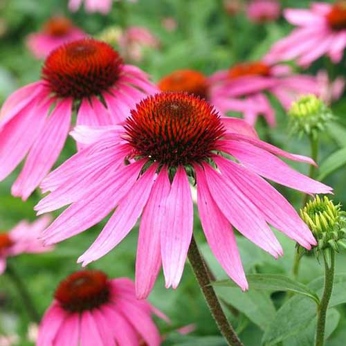 A close up of a purple coneflower in the summer garden, on a soft focus background.