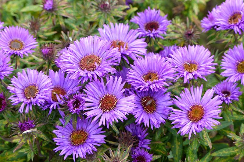 A close up of the pretty, daisy-like flowers of the New England aster, growing in the garden with foliage in soft focus in the background.
