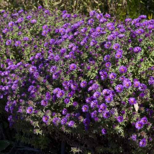 A close up of 'Purple Dome' asters growing in the summer garden, pictured in light sunshine on a soft focus background.