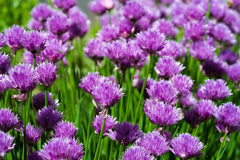 A close up of the bright purple flowers of Allium schoenoprasum growing in the summer garden.