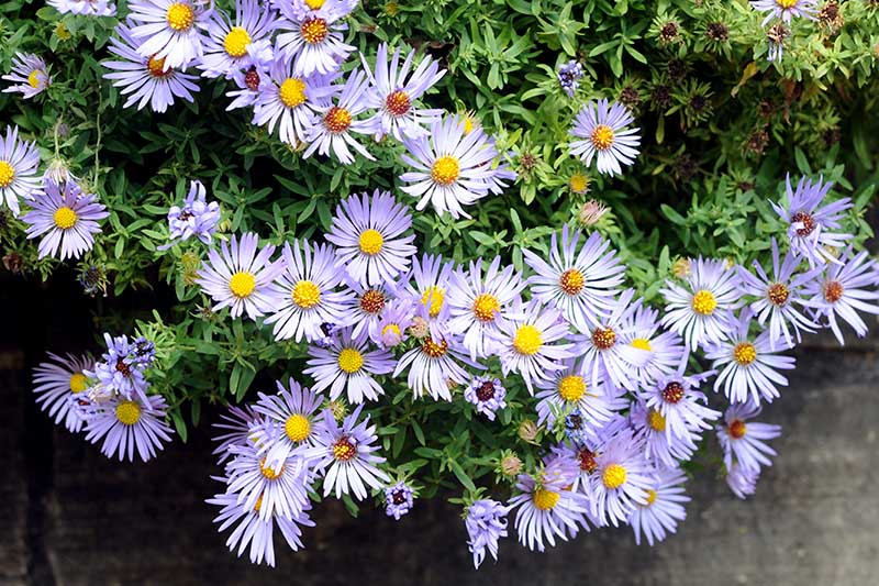 A close up of a cluster of little purple flowers of Aster x frikartii, growing in a container on the patio.