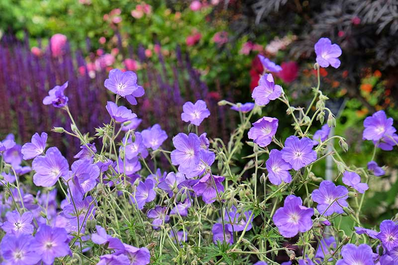 Purple cranesbill geraniums growing in the summer garden with purple and pink flowers in soft focus in the background.