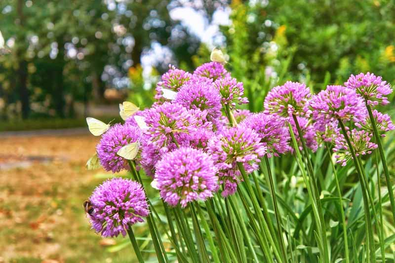 A garden scene of pinkish-purple agapanthus in full bloom, the flowers are covered with butterflies, pictured with trees in soft focus in the background.
