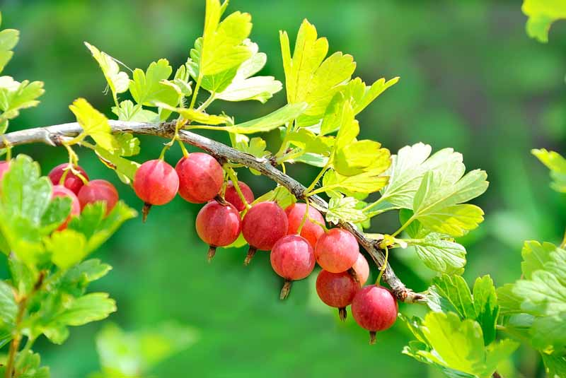 A close up of bright red, ripe gooseberries growing on the branch in light sunshine on a green soft focus background.