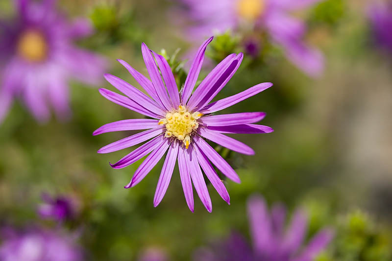A close up of a daisy-like Symphyotrichum sericeum flower, with purple rays and a yellow center disk, pictured in bright sunshine on a soft focus background.