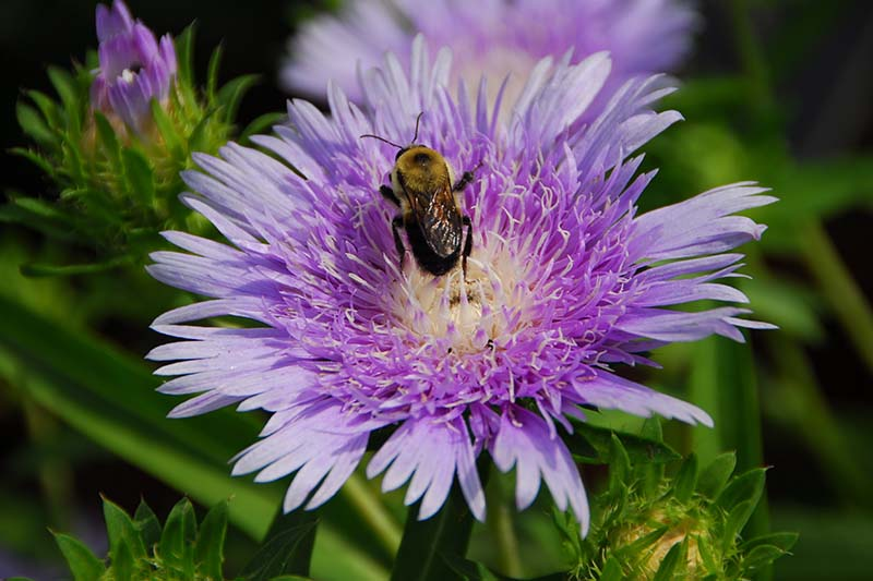 A close up of a bee feeding from a lavender-colored Stokesia laevis bloom, pictured in light sunshine on a green soft focus background.