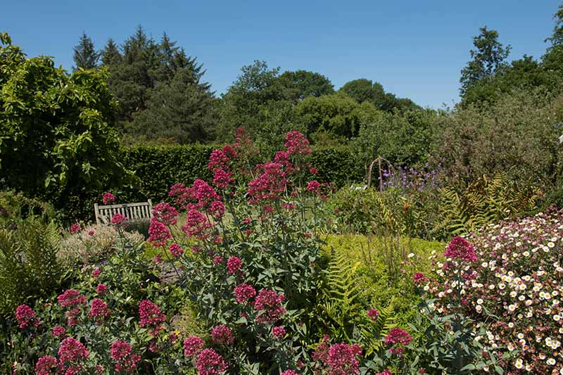 A country cottage garden with red valerian in full bloom and calico asters to the right of the frame, on a blue sky background in UK, one of the few sunny days of the summer season.