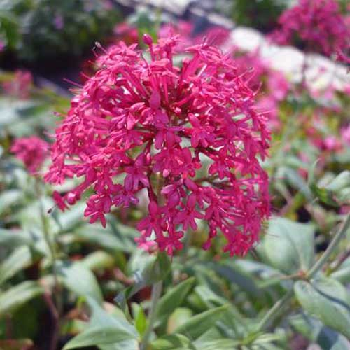 A close up square image of red valerian growing in the garden on a soft focus background.