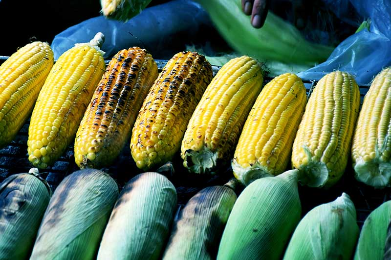 A close up of Zea mays roasting on an open fire at a street market.