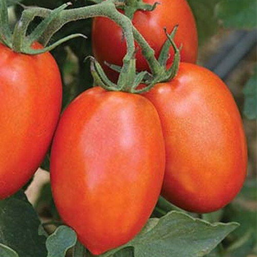 A close up of oblong-shaped, bright red, ripe tomatoes growing in the garden on the vine, with foliage in soft focus in the background.