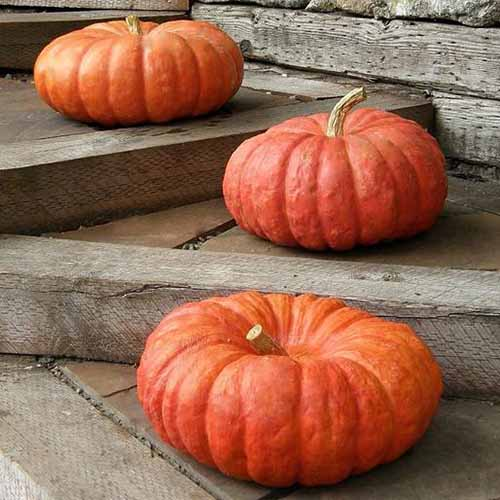 A close up of three 'Rouge Vif d'Etampes' squash set on wooden steps with a wooden fence in the background.