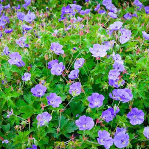 A close up of a clump of hardy geraniums 'Rozanne' growing in the summer garden, with bright purple flowers and light green foliage.