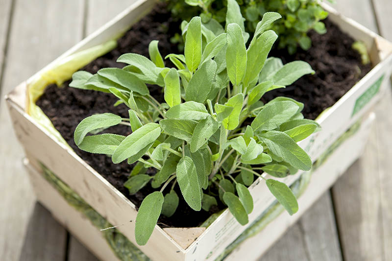 A close up of a small Salvia officinalis plant growing in a wooden container, set on an outdoor table.