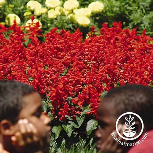 A close up of two boys in front of a large clump of 'Red Hot Sally' Salvia growing in bright sunshine on a soft focus background. To the bottom right of the frame is a white circular logo with text.