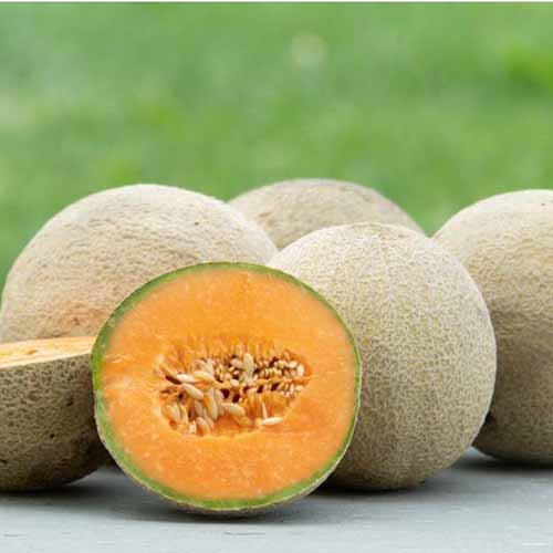 Square closely cropped image of four whole 'Sarah's Choice' cantaloupe with one cut in half to display the flesh and seeds inside, with green grass in soft focus in the background, on a gray surface.