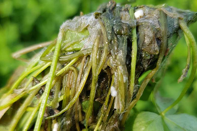 A close up of a plant suffering from Sclerotinia root rot on a soft focus background.