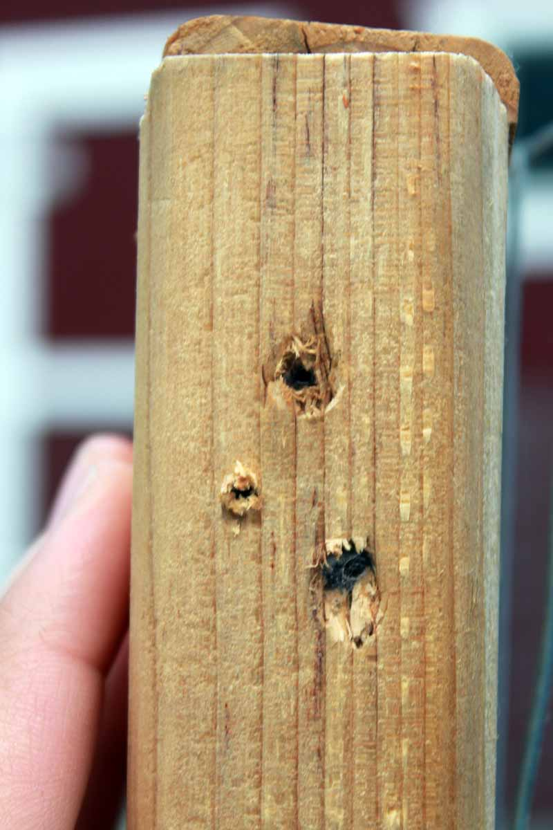 A close up of a hand from the left of the frame showing three pilot holes drilled into a piece of wood.