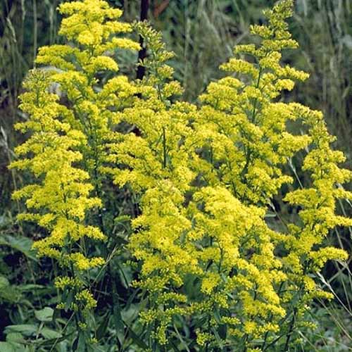 A close up of the bright yellow blooms of 'Showy' goldenrod growing in the garden on a soft focus background.