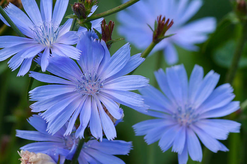 A close up of bright blue Cichorium intybus flowers growing in the garden, pictured on a soft focus background.