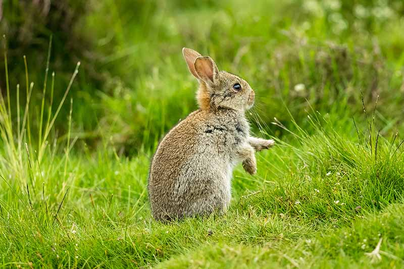A small rabbit sitting on its hindlegs on the lawn, pictured in light sunshine on a soft focus background.
