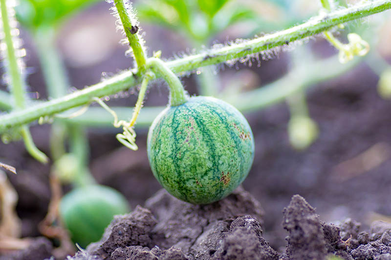 A close up horizontal image of a tiny dark and light green fruit developing on the vine, with dark soil and foliage in soft focus in the background.