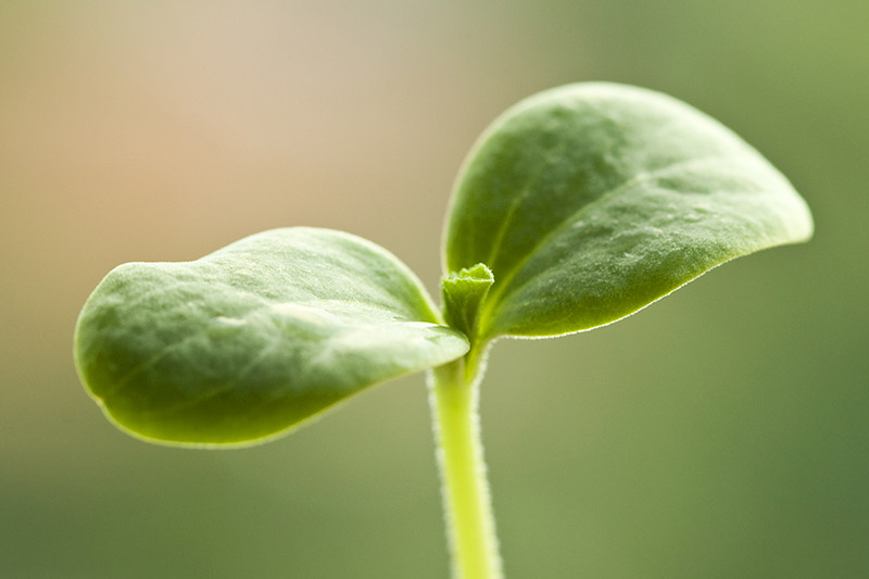 A close up of a tiny seedling, just sprouted, pictured on a green soft focus background.