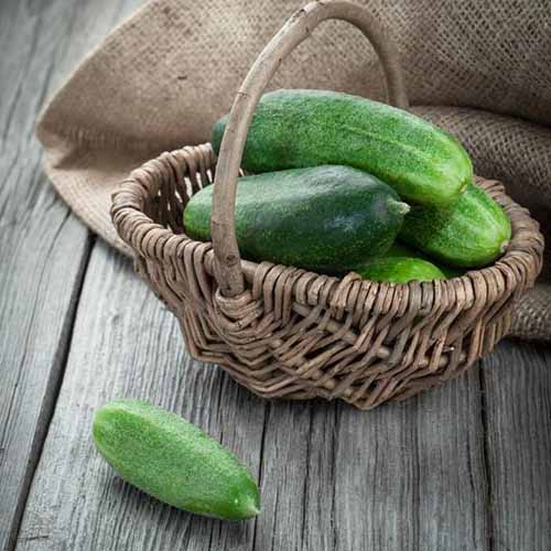 A close up of a small wicker basket with freshly harvested Cucumis sativus 'Spacemaster' set on a wooden surface.